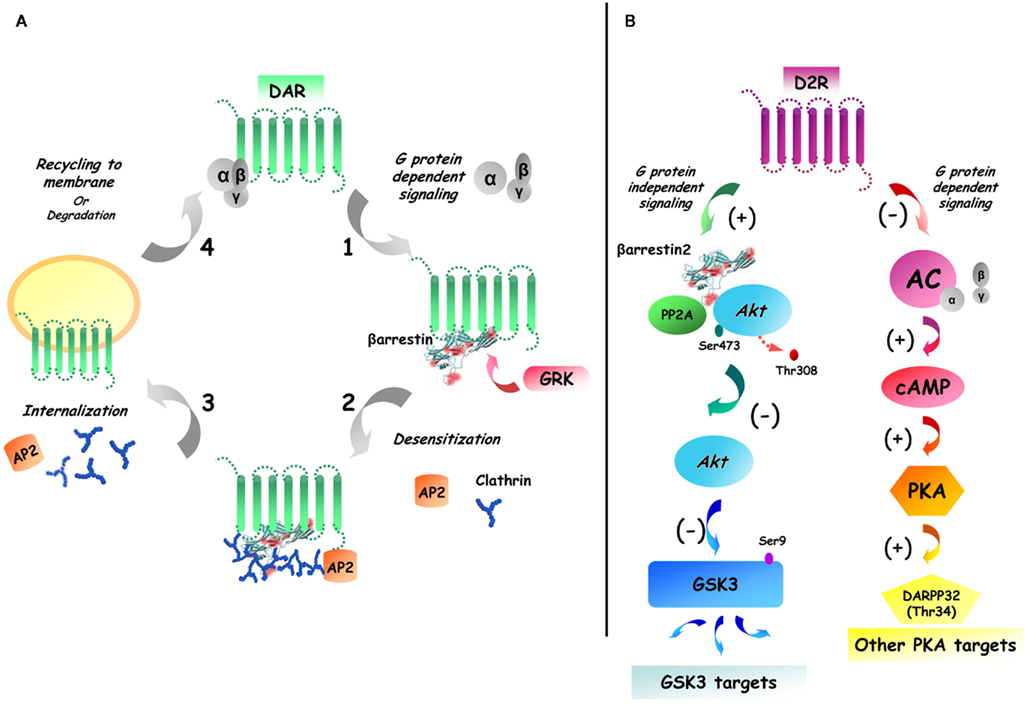 Frontiers | Beyond cAMP: The Regulation of Akt and GSK3 by ...