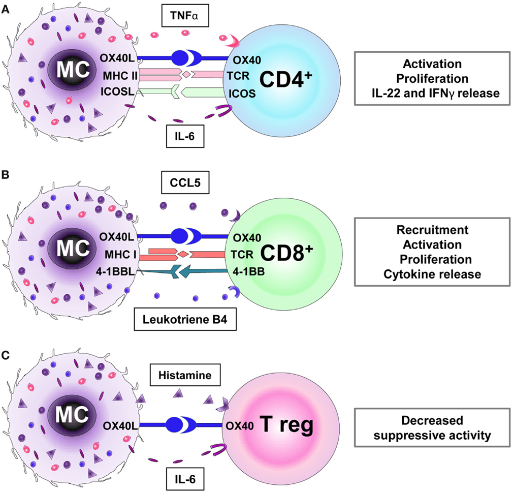 Frontiers Mast Cells As Regulators Of T Cell Responses