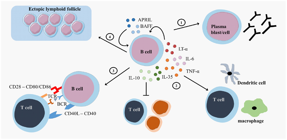 Frontiers | B Cells Are Multifunctional Players in Multiple ...
