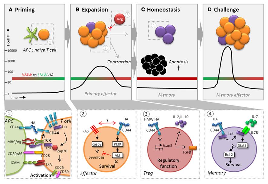 Frontiers Regulation Of Antigen Experienced T Cells