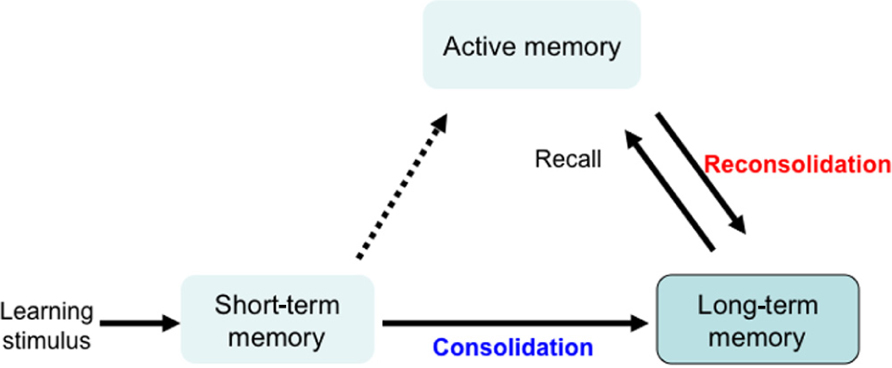 human memory research papers Memory, thinking, and intelligence memory is the process in our brain that the results of learning are stored for future recall there are three types of memory, sensory memory, short term memory, and long term memory.
