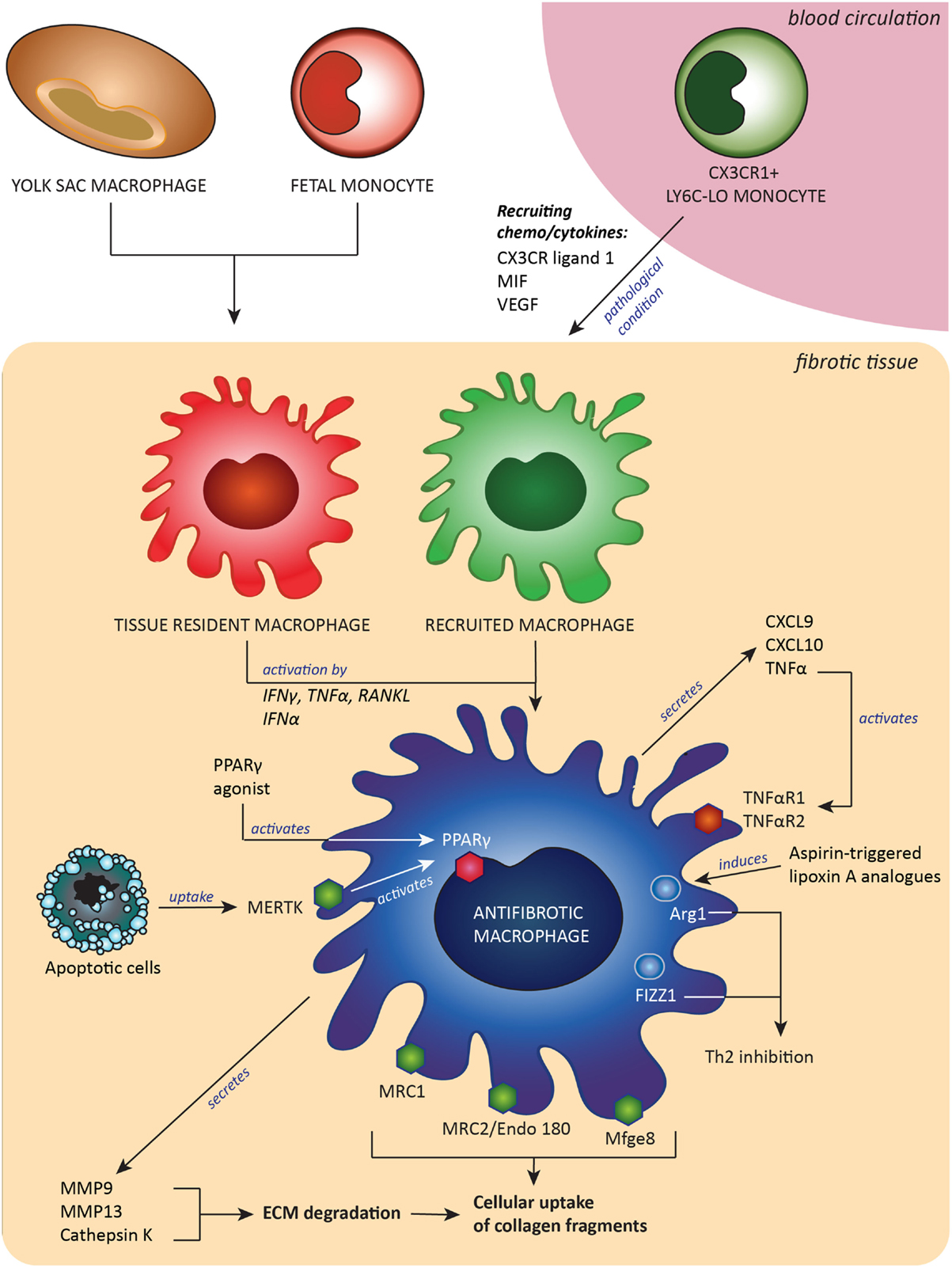 Frontiers The Elusive Antifibrotic Macrophage Medicine