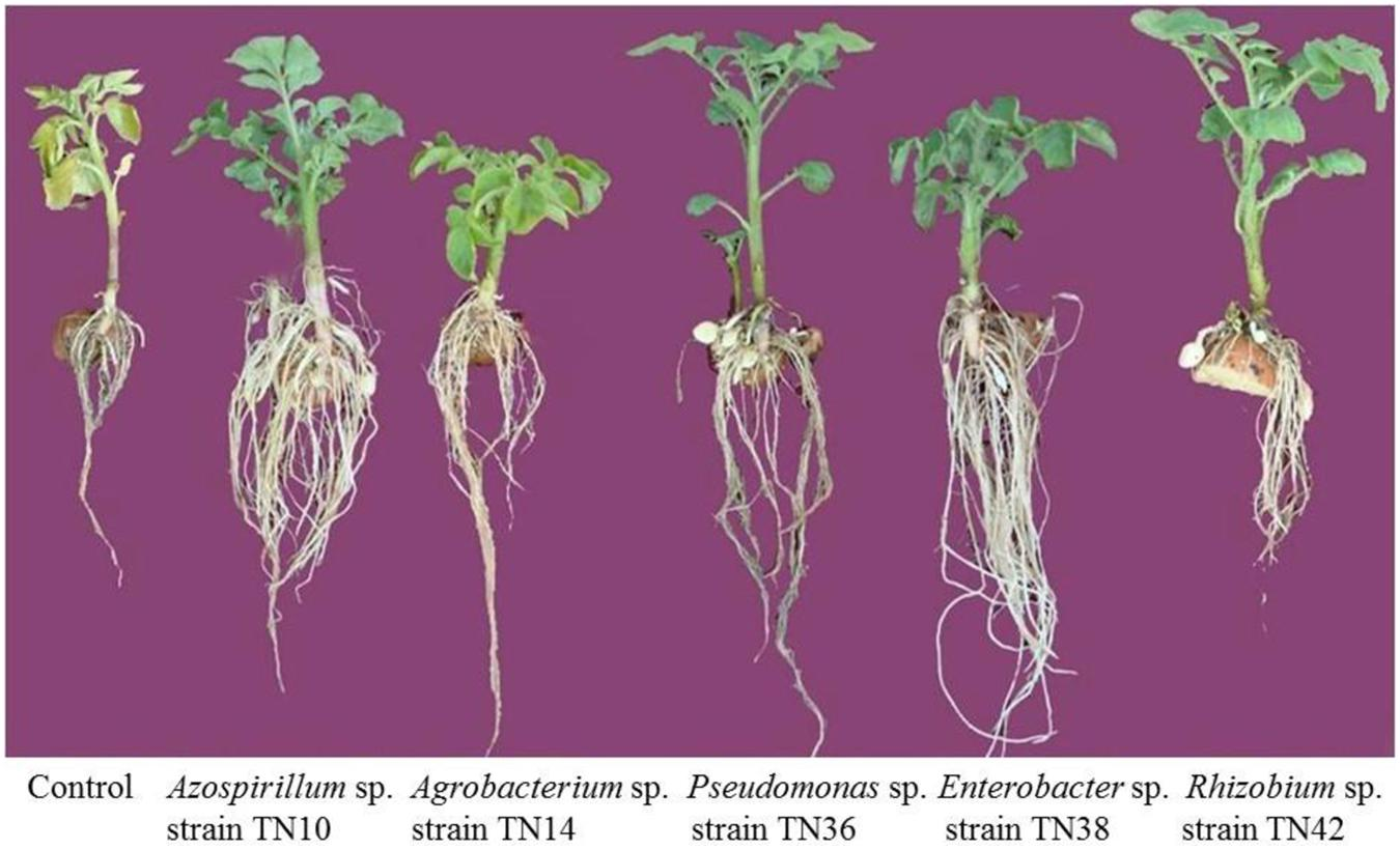 effect of rhizobia in plant yeild Effects thus, plants that grow in soils containing sufficient amounts of acid humic are less rhizobium at sowing increase average of chlorophyll a baloch ms, zubair m 2010 effect of nipping on growth and yield of chickpea the journal of animal and plant sciences 20.