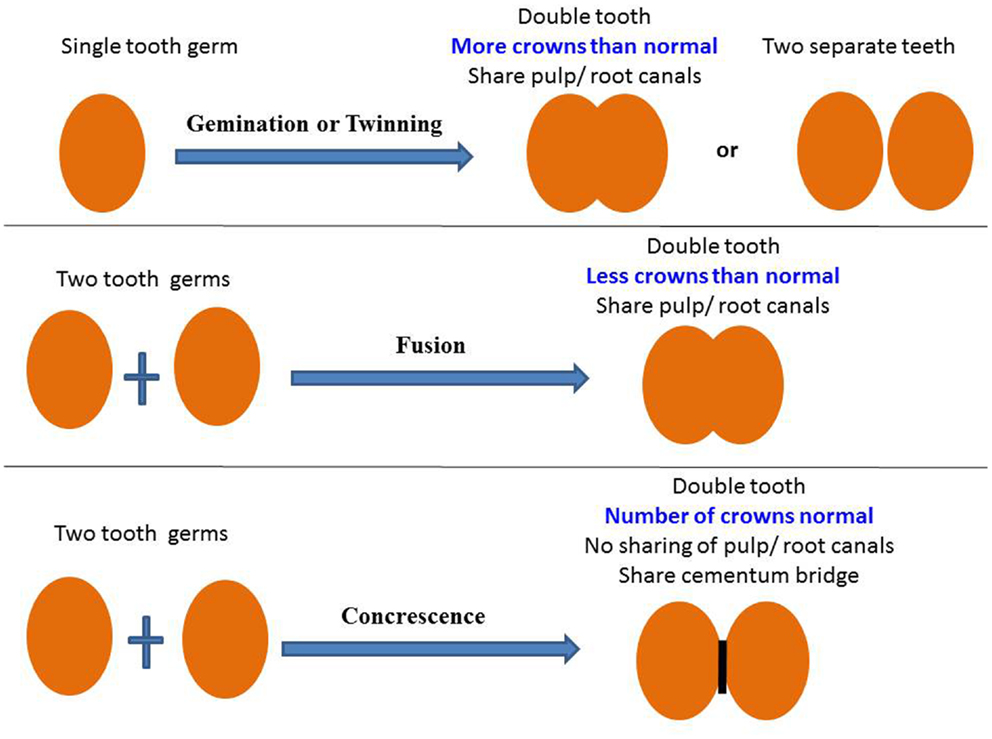 frontiers developmental structural tooth defects in dogs