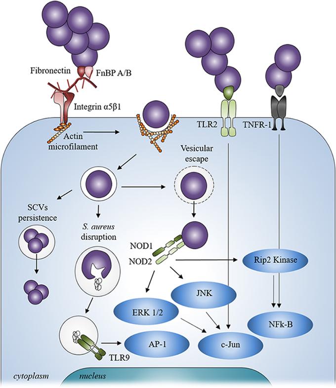 Frontiers | Staphylococcus aureus vs. Osteoblast: Relationship and ...