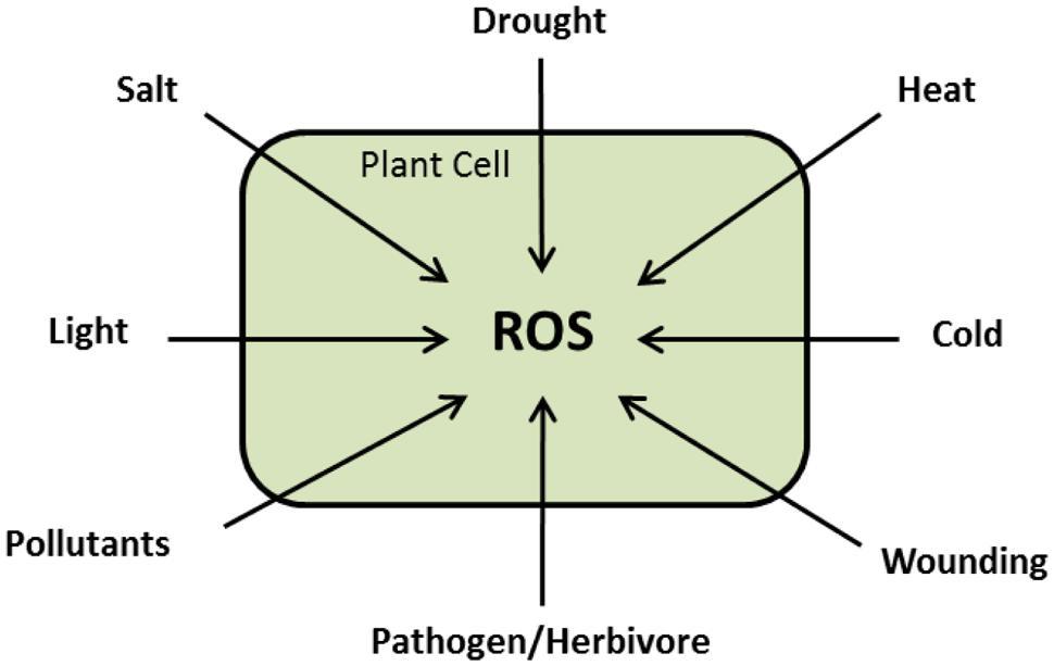 Frontiers   Global Plant Stress Signaling: Reactive Oxygen Species ...
