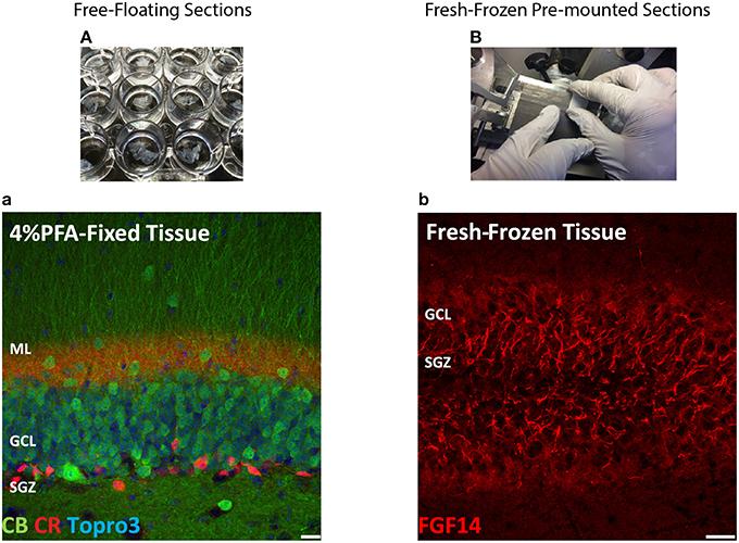 protocols immunostaining paraffin frozen free floating protocol