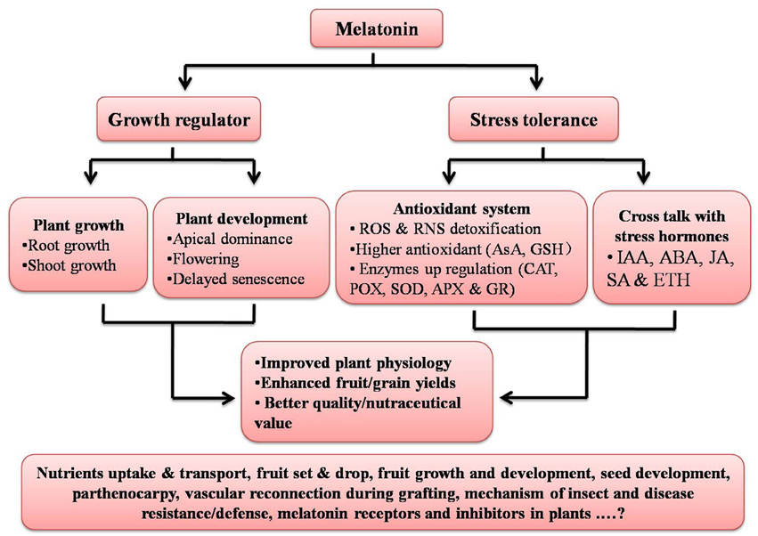 mechanism of melatonin stimulation of growth Pathway of melatonin is the neurotransmitters released from noradrenergic  terminals that  also resulted in an increase in pineal tachykinin concentrations   receptors that respond to norepinephrine by stimulating melatonin synthesis.