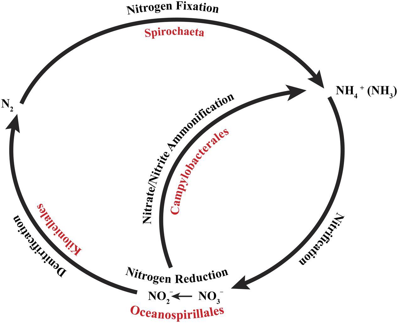 Ocean Nitrogen Cycle Diagram | Free Download Wiring Diagram Schematic