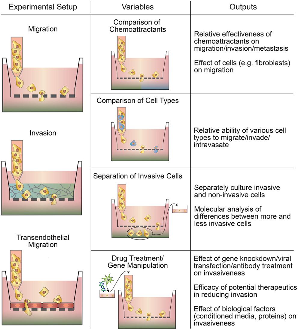 In vitro models of blood brain barrier