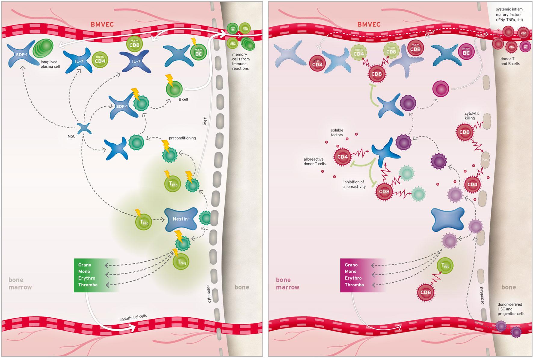 bone marrow transplantation journal pdf