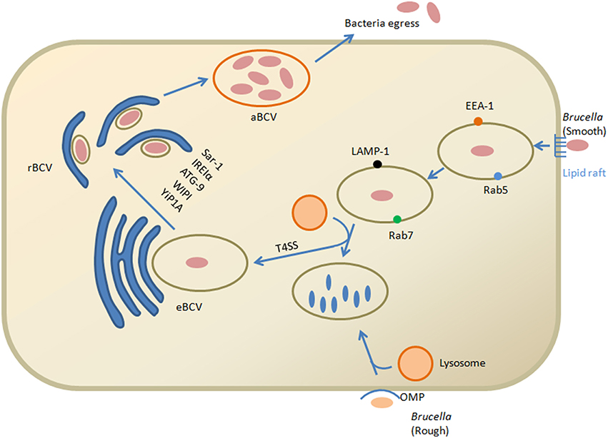 survival strategies of intracellular bacteria 09092015 canadian journal of microbiology,  the molecular mechanisms of intracellular survival of bcc bacteria,  immune cells using different strategies.