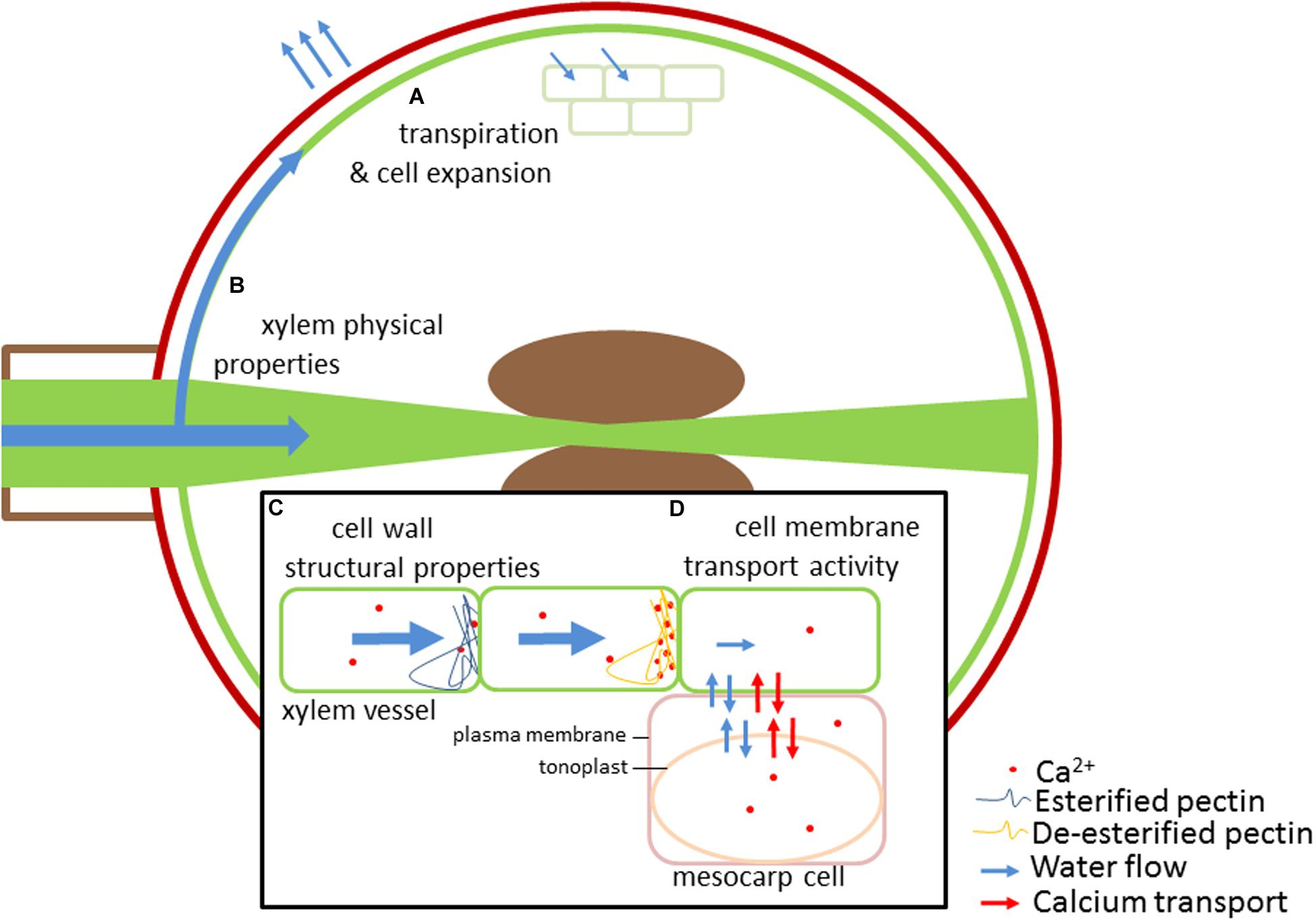 frontiers fruit calcium transport and physiology