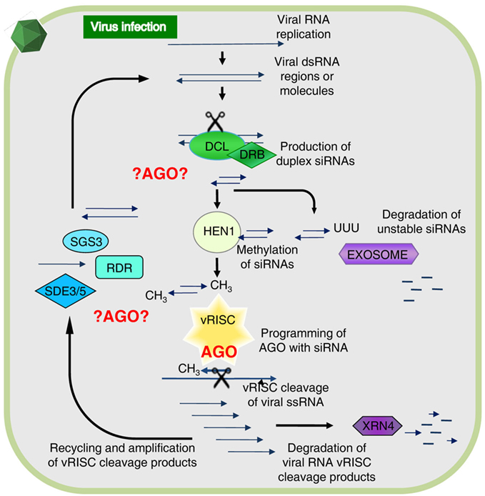plants synthesise protein from Protein biosynthesis (synthesis) is the process in which cells build proteins the term is sometimes used to refer only to protein translation but more often it refers to a multi-step process, beginning with amino acid synthesis and transcription which are.