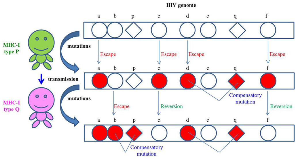 Frontiers | CTL escape and viral fitness in HIV/SIV ...