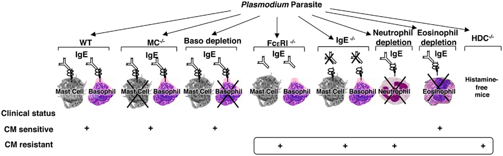 relationship between ige and eosinophils