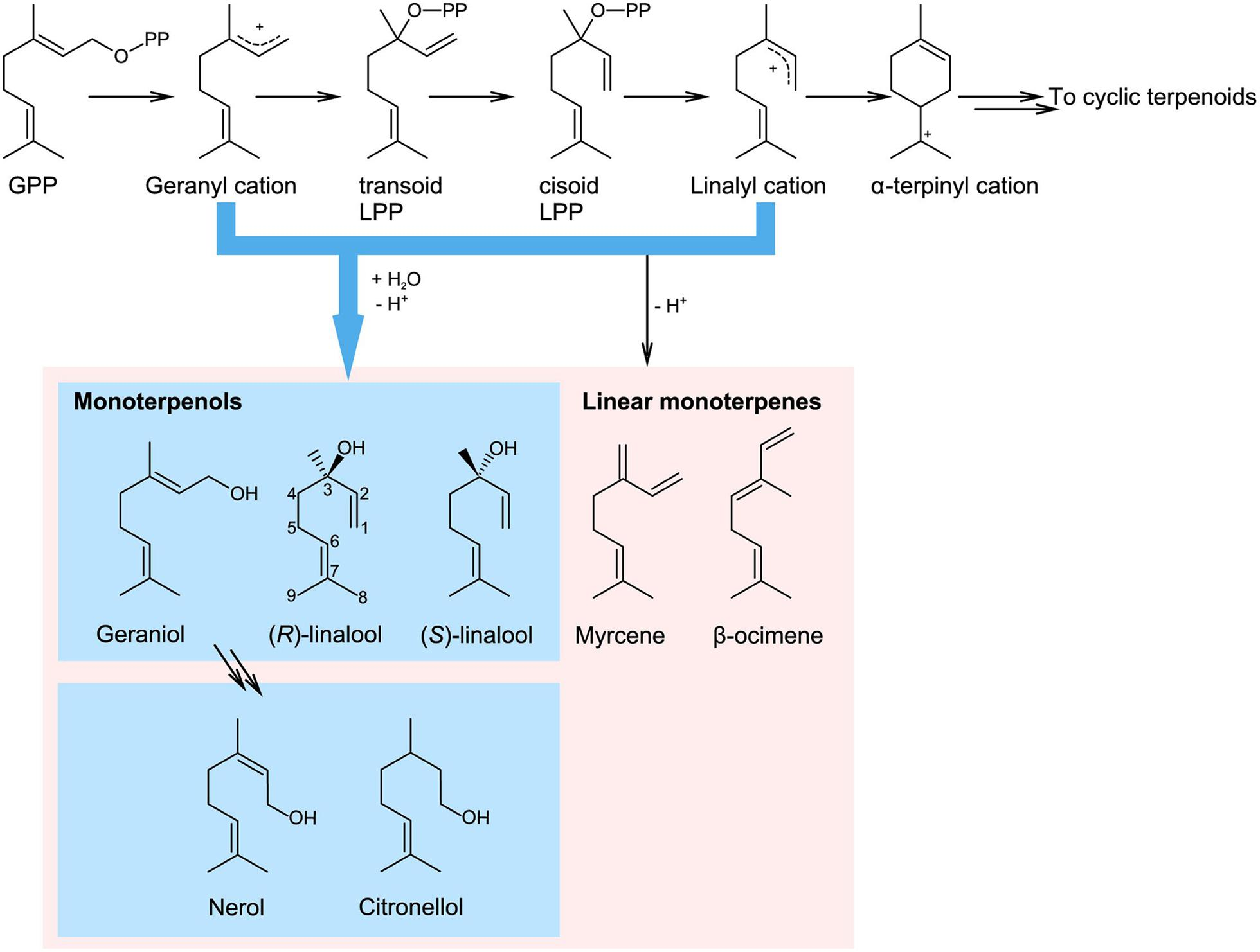 Frontiers Monoterpenol Oxidative Metabolism Role In