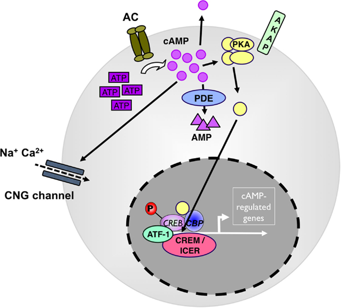 Frontiers   The cAMP Pathway as Therapeutic Target in Autoimmune ...