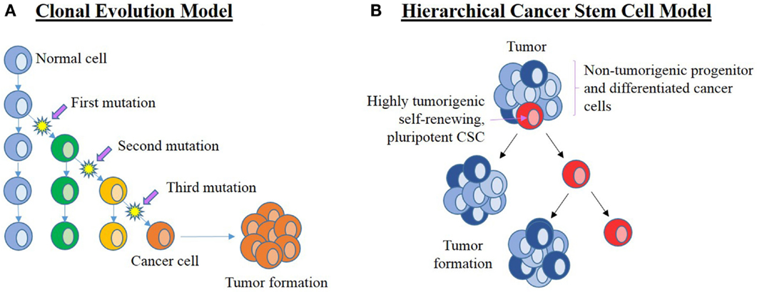 frontiers cancer stem cell hierarchy in glioblastoma