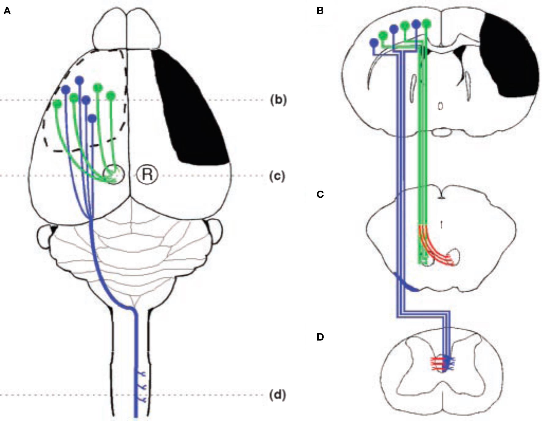 Frontiers Factors Influencing Cerebral Plasticity In The