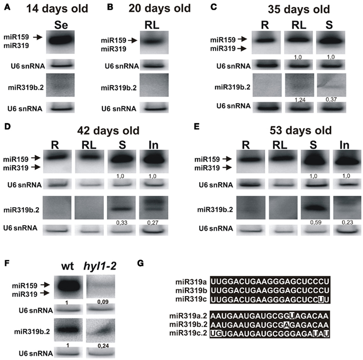 Frontiers | Non-Canonical Processing of Arabidopsis pri-miR319a/b ...