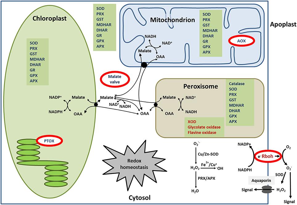 brassinosteroid signaling pathway