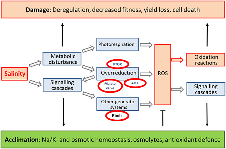 plant cells under generation on nitric When cells were activated in l-arg-free medium, cytosolic l-arg was further depleted to 36 ± 06 pmol per 10 6 cells (p  001), and prominent o 2⨪ generation was observed these data indicated that substantial cytosolic l -arg depletion was required for inos-mediated o 2⨪ generation.