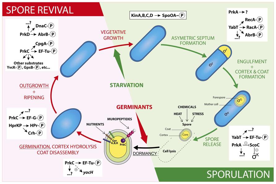 frontiers impact of serinethreonine protein kinases on