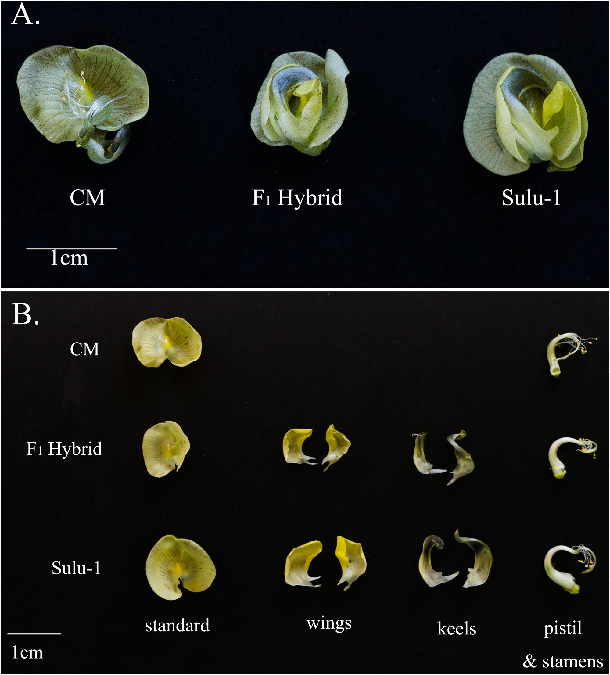 thesis on mungbean Review of literature characterization of endophytic rhizobacteria from vigna mungo (l) hepper and their role in biocontrol of macrophomina phaseolina (tassi) goid 8 the basis of sanskrit name urad is known as mash in punjab and mash kalaya in west bengal.