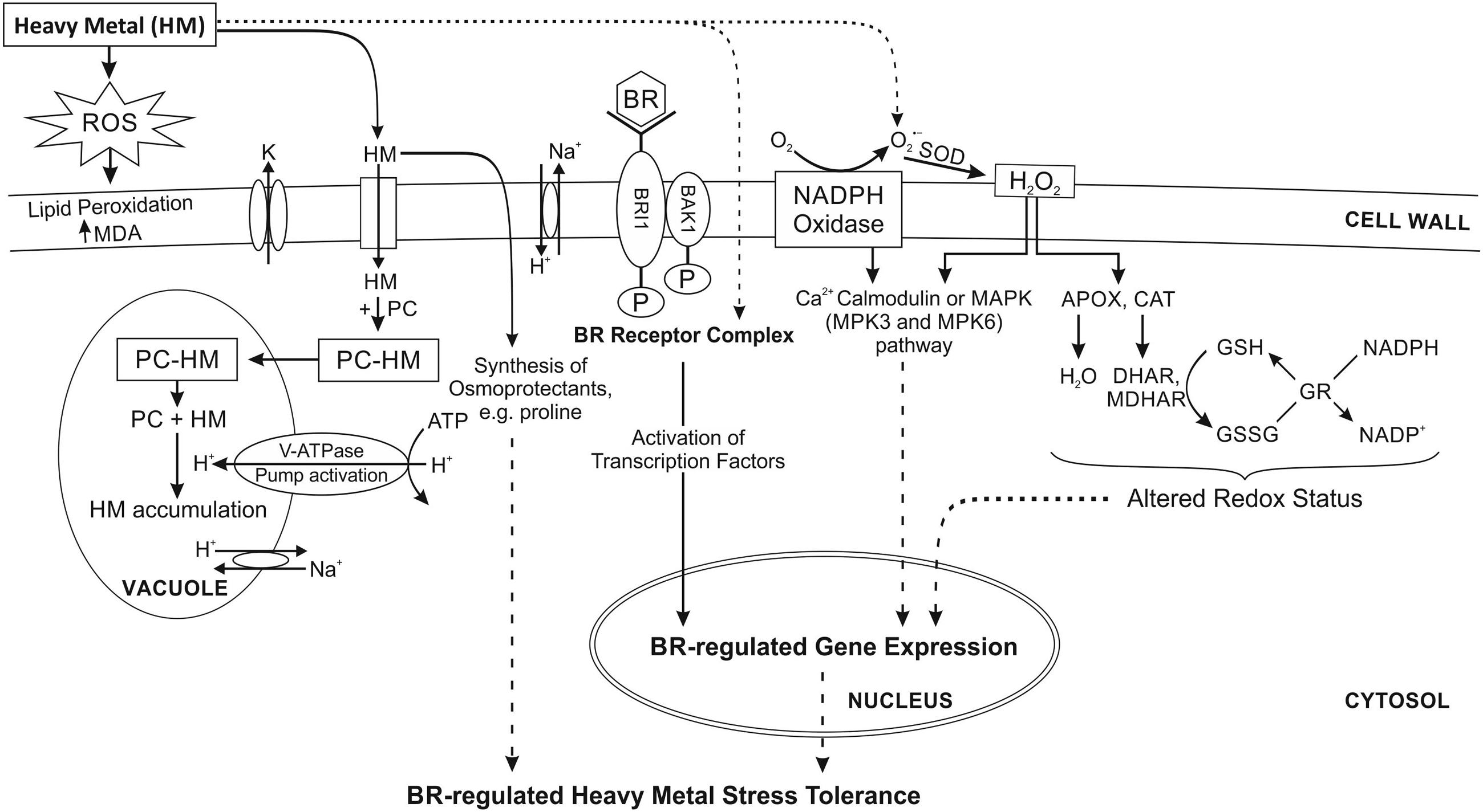 brassinosteroids regulate grain filling in rice