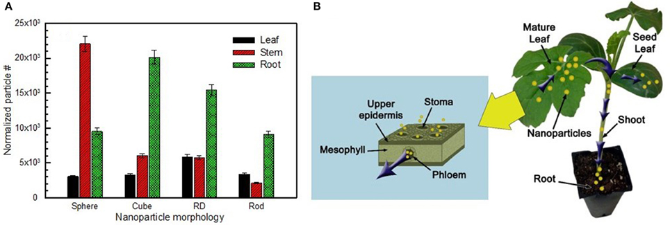 to verify stomata by a experiment How light affects the stomatal opening in a leaf my experiment was designed to check the stomata opening in light plants move in ways that may not.