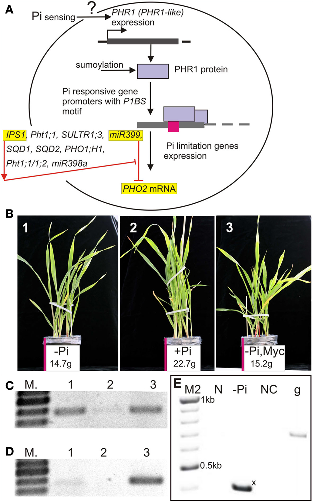genetic traits in barley plants Conventional plant breeding  barley, rice, potatoes,  when plants are crossed, many traits are transferred along with the trait/s of interest.