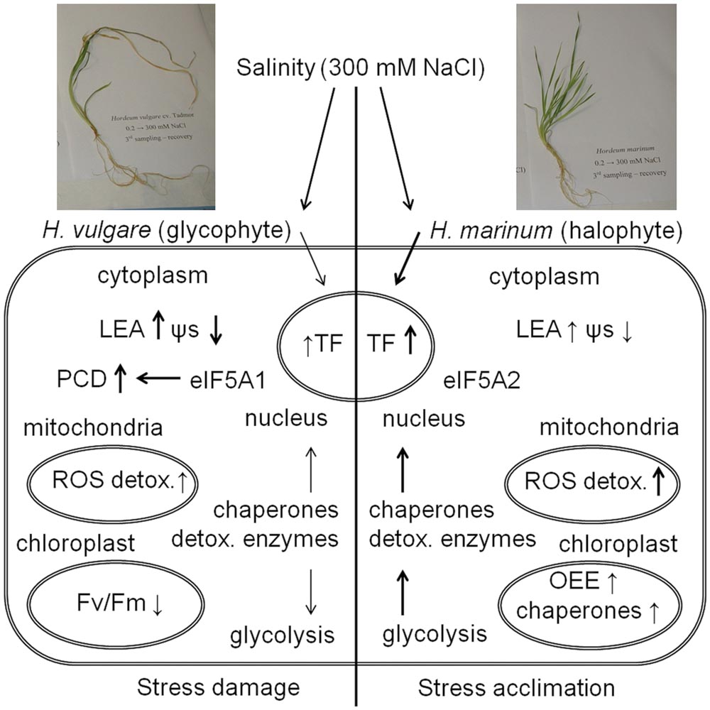a discussion of abundance of osmolytes Submergence and drought are major constraints to rice ( oryza sativa ) production in rain-fed farmlands, both of which can occur sequentially during a single crop cycle.