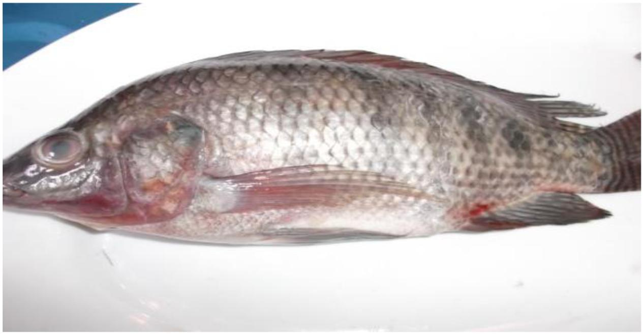 Frontiers dispersion of the vancomycin resistance genes for Fish eye skin