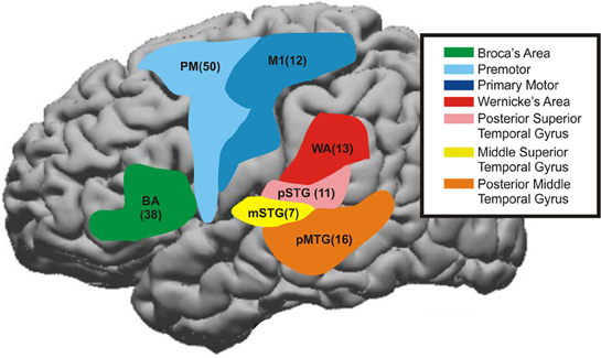 Perirolandic cortex anatomy