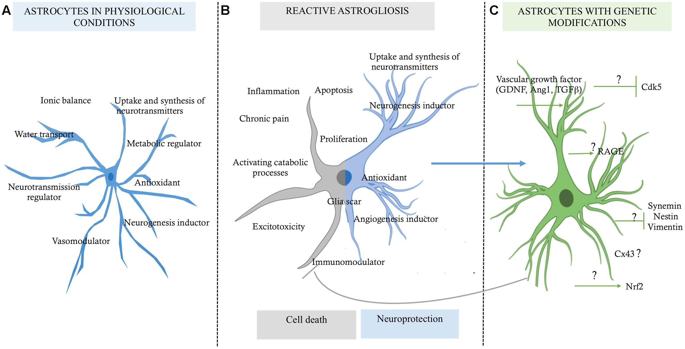 Frontiers | The Role of Astrocytes in Neuroprotection ...