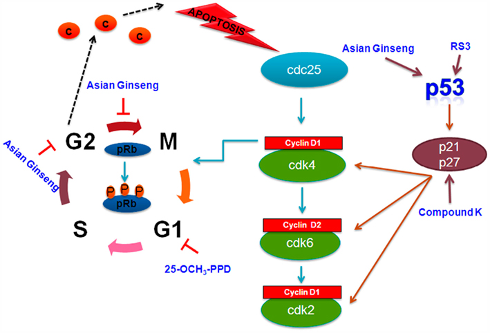 p53 mediated cell death relationship to cycle control activities