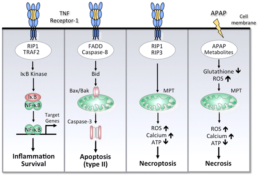 cellular responses to non steroid hormones include