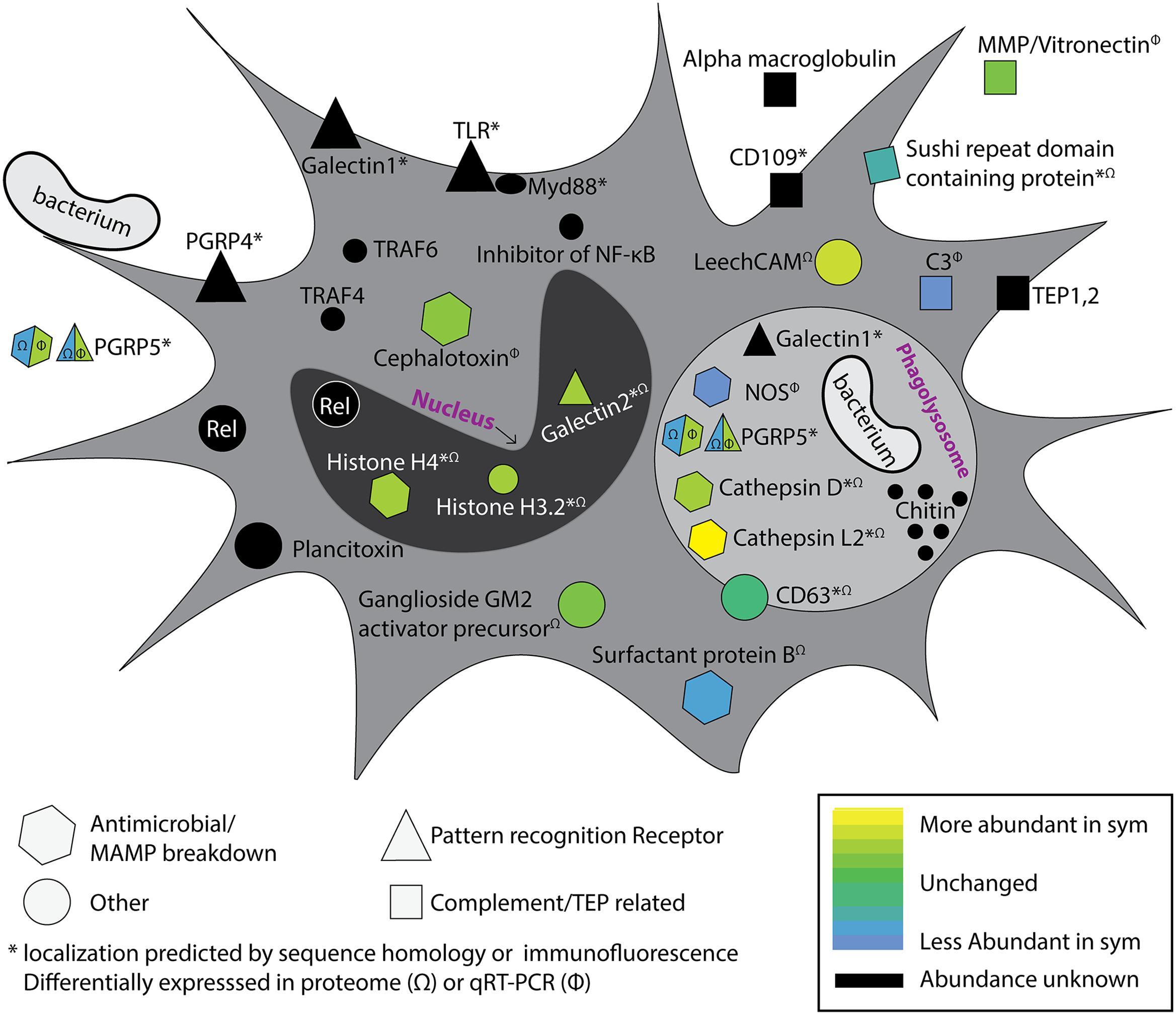 Sequencing and De Novo Analysis of the Hemocytes ...