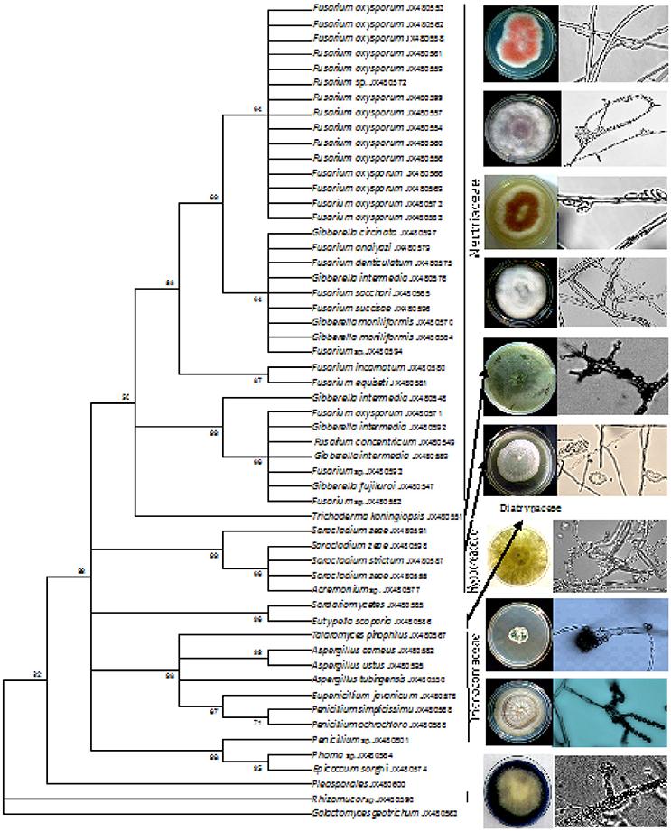 fusarium species+thesis By esteban valverde-bogantes a thesis presented to the faculty of   species of fusarium head blight pathogens in nebraska, usa in 2015-2016.