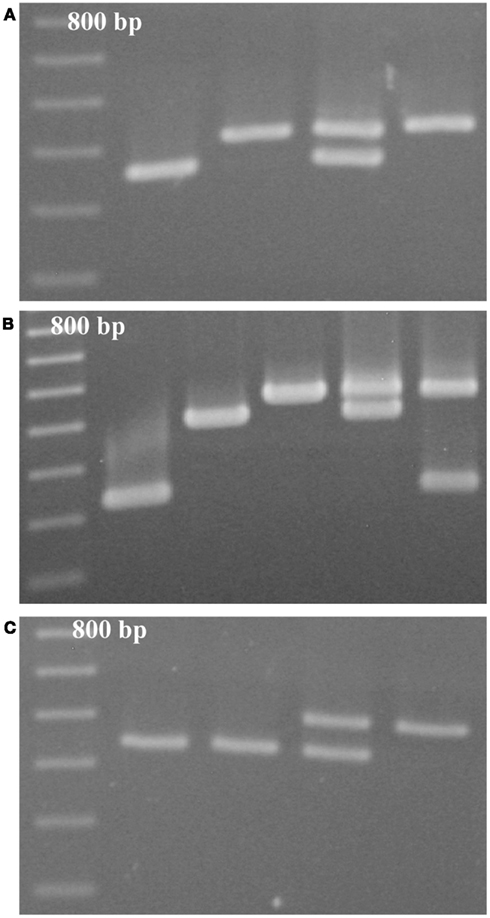 competition of brassica rapa Growth and development of brassica rapa was to observe and understand the effect of intraspecific competition on b rapa due to limited brassica rapa plants.