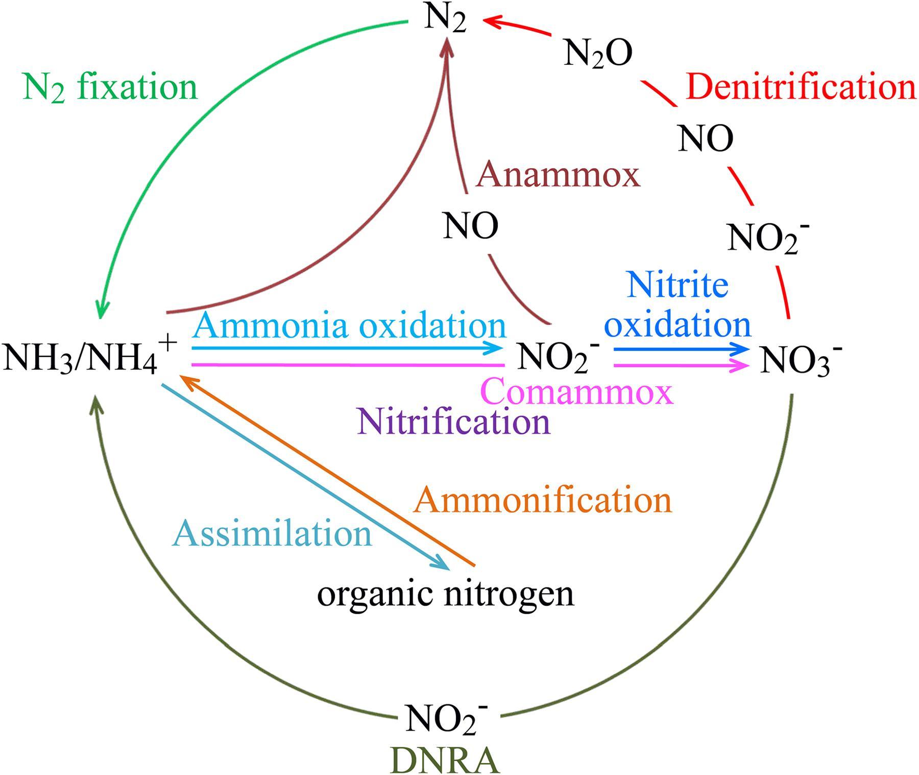 nitrogen fixation nitrification denitrification relationship goals