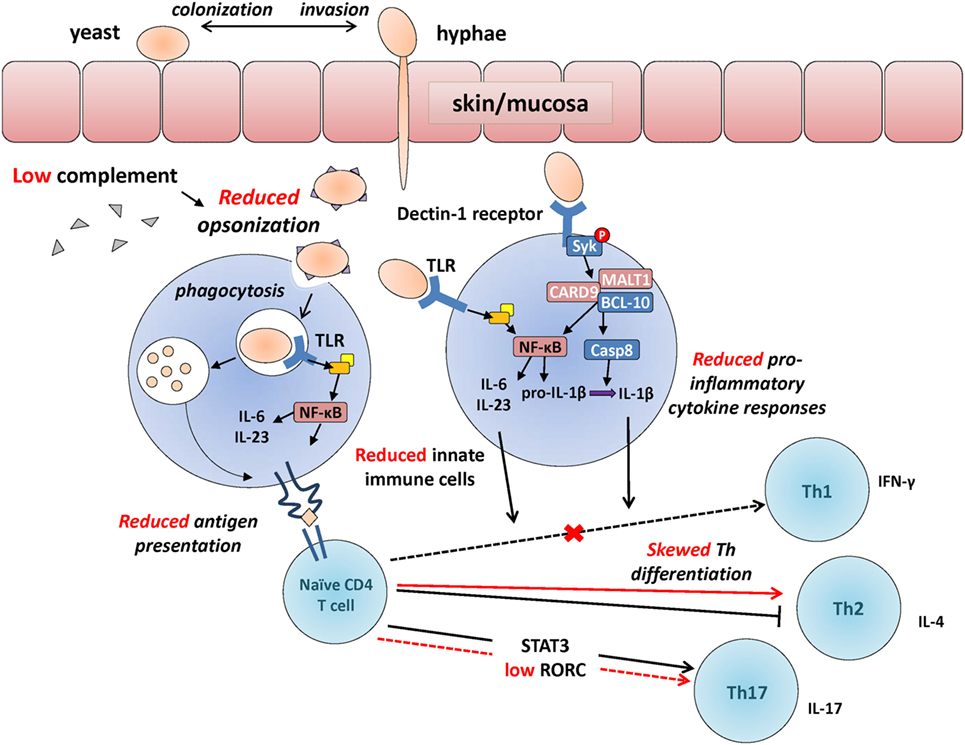 Frontiers | Antifungal Immunological Defenses in Newborns