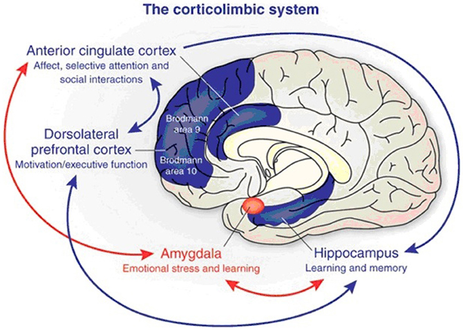 articles about the amygdala