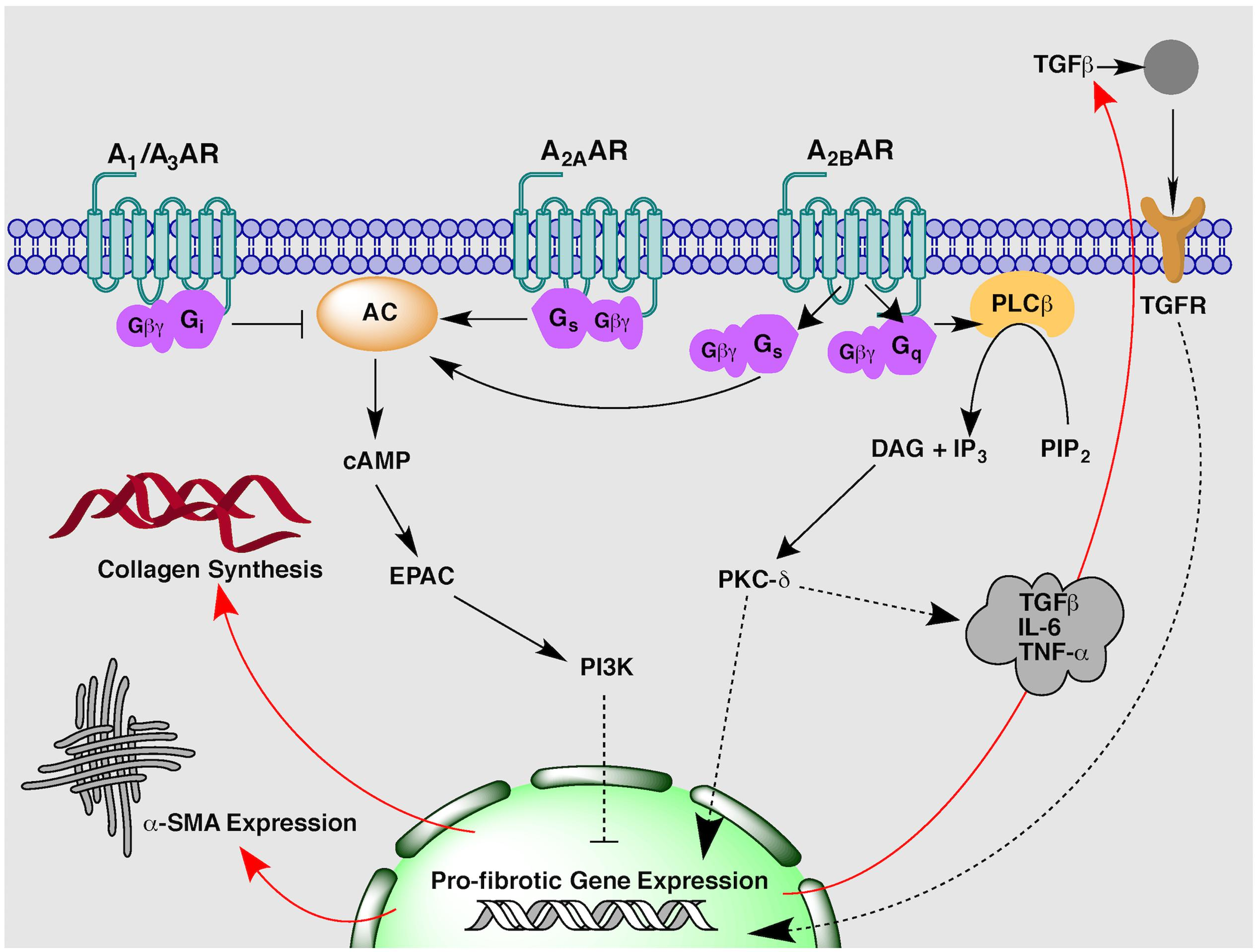 mechanism of action of steroids in immunosuppression