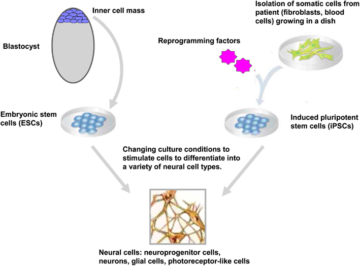 Frontiers | Human Pluripotent Stem Cells: Applications and ...