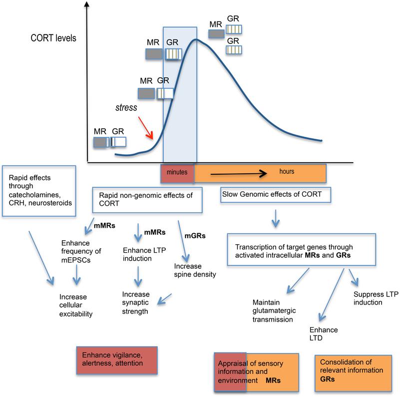 corticosteroid hormone glucocorticoid