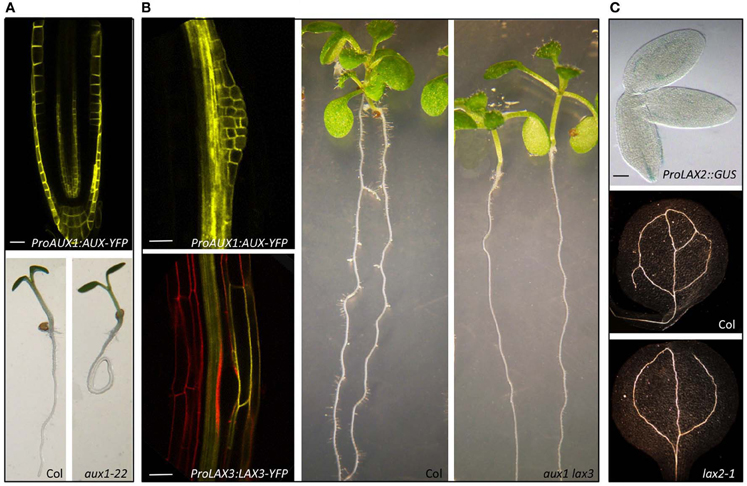 brassinosteroid regulates stomatal development by gsk3-mediated inhibition of a mapk pathway