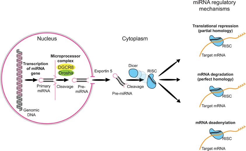 Mirna Regulation of Gene Expression Regulate Gene Expression