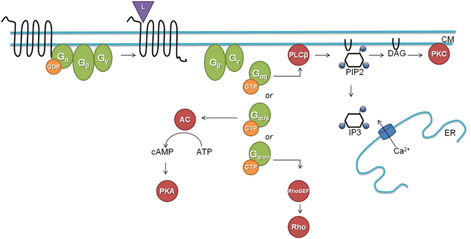 Frontiers | Neu... G Protein Coupled Receptors Diagram